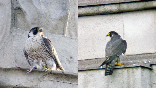 Two views of adult female Peregrine