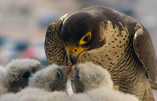 Adult female Peregrine and chicks