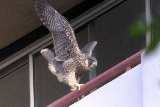 Recently fledged female Peregrine exploring a ledge