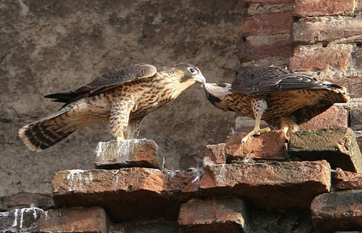 Two juvenile Peregrines 'billing'