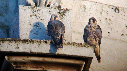 Recently fledged male Peregrines