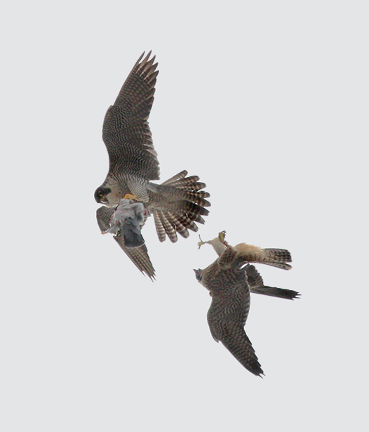 Aerial food pass between adult and juvenile Peregrines