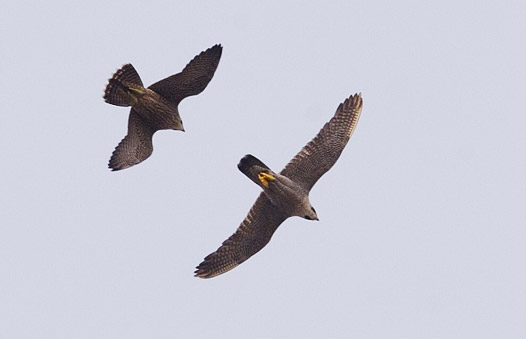 Juvenile Peregrine chasing an adult