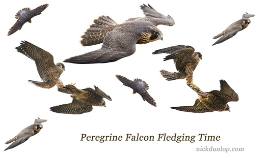 Montage of juvenile Peregrines in flight