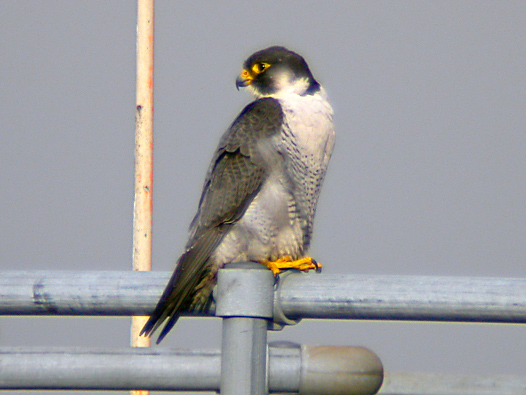 Adult male Peregrine