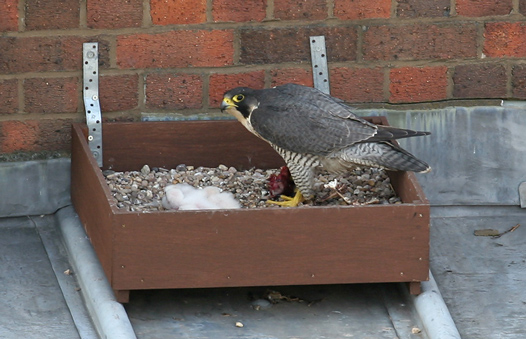 Adult female Peregrine with chicks