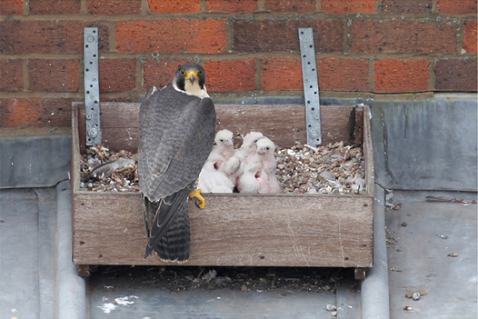 Chicks and adult female Peregrine