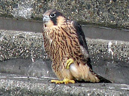 Juvenile Peregrine standing on one foot